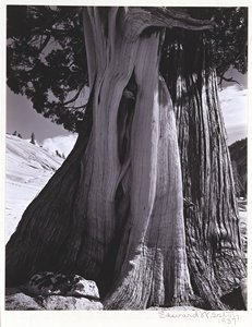 "Edward Weston's ""Juniper, Lake Tenaya, Yosemite National Park, California"" from 1937."