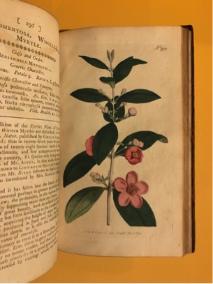 James Sowerby, et al. British, 1757–1822 William Curtis, author British, 1746–1799 Myrtus tomentosa (Woolly-Leaved Myrtle), 1794 Plate 250 from Botanical Magazine, vol. 7 London: Stephen Couchman, 1787– Hand-colored engraving Courtesy of The Owen H. Wangensteen Historical Library of Biology and Medicine, University of Minnesota